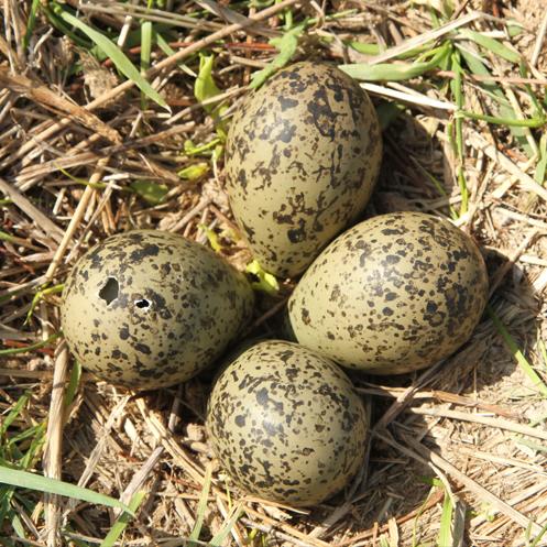 Tero-eggs